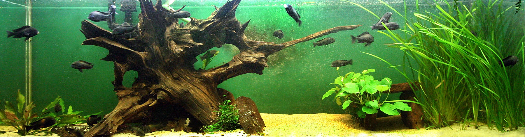 Wood for Driftwood for fish tank